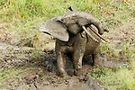 African Forest Elephant (Loxodonta africana cyclotis) bull shaking, Lope National Park, Gabon