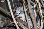 Canada Lynx hiding amongst trees