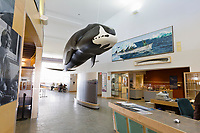 Bowhead whale in the Utqiagvik (Barrow) Museum, Utqiagvik (Barrow), Alaska