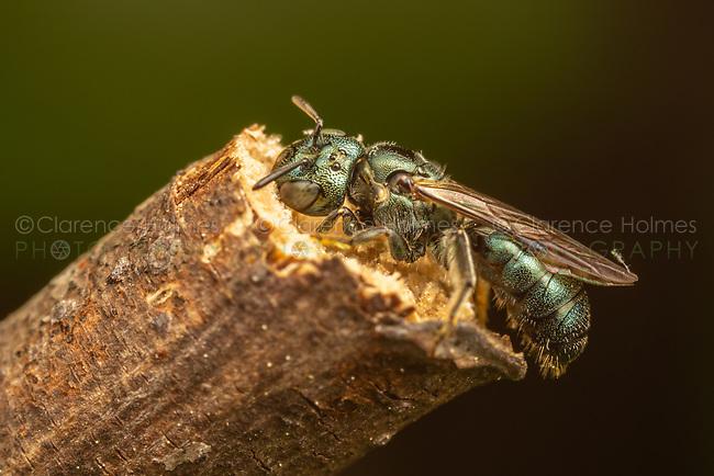 Small Carpenter Bee (Ceratina sp.)