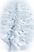 Snow Hill Island, Antarctica. Emperor penguin tobogganing track made while traversing on their bellies across the ice.