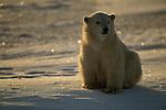 A polar bear cub sits in the snow.