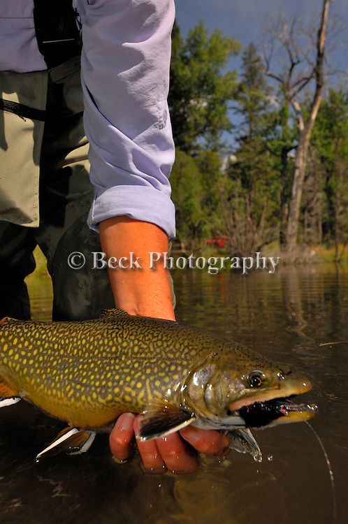 Western Brook Trout and fly