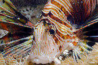 common lionfish, Pterois volitans, Red Sea, Safaga, Egypt, Middle East, , Northern Africa