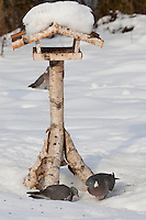 Ringeltaube, Ringel-Taube, Ringel - Taube, an der Vogelfütterung, Fütterung im Winter bei Schnee, frisst Körner am Boden unter einem Vogelhäuschen, Winterfütterung, Columba palumbus, Wood Pigeon, woodpigeon, Pigeon ramier