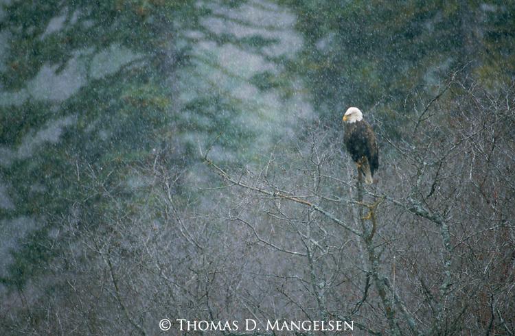 A majestic Bald Eagle perches in a bare tree as winter snow falls in Montana.