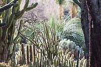 Columnar cactus (succulents) in the Desert Garden at the Huntington Botancial Garden, California