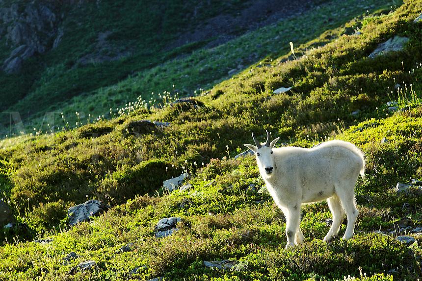 Mountain goat in 11 Bull Basin, Bailey Range, Olympic Mountains, Olympic National Park, Washington
