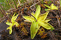 Common Butterwort (Pinguicula vulgaris) growing in peat bog. This carniverous plant has sticky droplets covering its leaves that trap its insect prey. Isle of Mull, Scotland, UK. June.