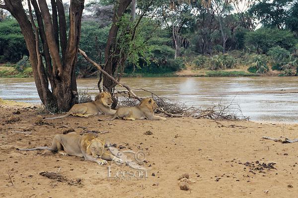 Young African Lion (Panthera Leo) males resting.  Samburu National Reserve, Kenya.   Ewaso Ng'iro River.