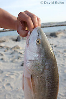 0201-1003  Casual Fisherman Holding Recently Caught Redfish (Red Drum or Channel Bass), 27 inches (top slot in Texas Gulf in 2009), Sciaenops ocellatus  © David Kuhn/Dwight Kuhn Photography.