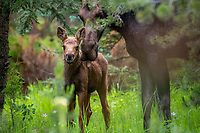 Moose Kiss. Mama Moose and her calf posed for portraits one sunny day in June.  LSF=1.5