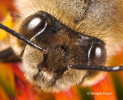 1B07-501z  Honeybee, face close-up, 5 eyes, 3 simple eyes, 2 compound eyes, Apis mellifera