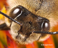 1B07-501z  Honeybee, face close-up, 5 eyes, 3 simple eyes, 2 compound eyes, Apis mellifera