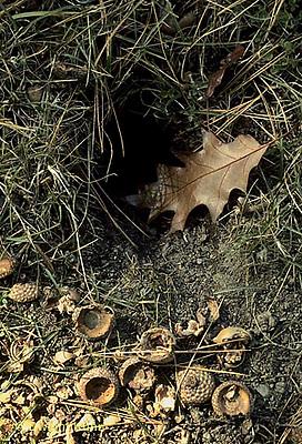 MA03-001b   Chipmunk - eastern entrance to den - Tamias striatus