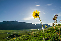 Yellow arnica blooms under the 24 hours sunlight of Alaska's high Arctic, in Atigun Canyon of the Brooks Range, Alaska