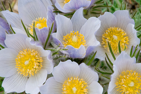 Pasque Flowers (Anemone patens)--wildflowers found in high mountain meadows, Pryor Mountains, Wyoming.  June.
