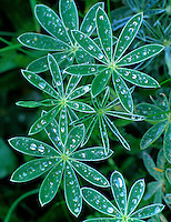 Close up of rain on lupine leaves. Cape Blanco, Oregon