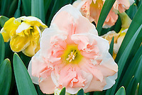 Narcissus 'Apricot Whirl' unusual daffodil flower color with double petals in spring bloom in rare pink peach tone