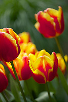Tulip 'Denmark'