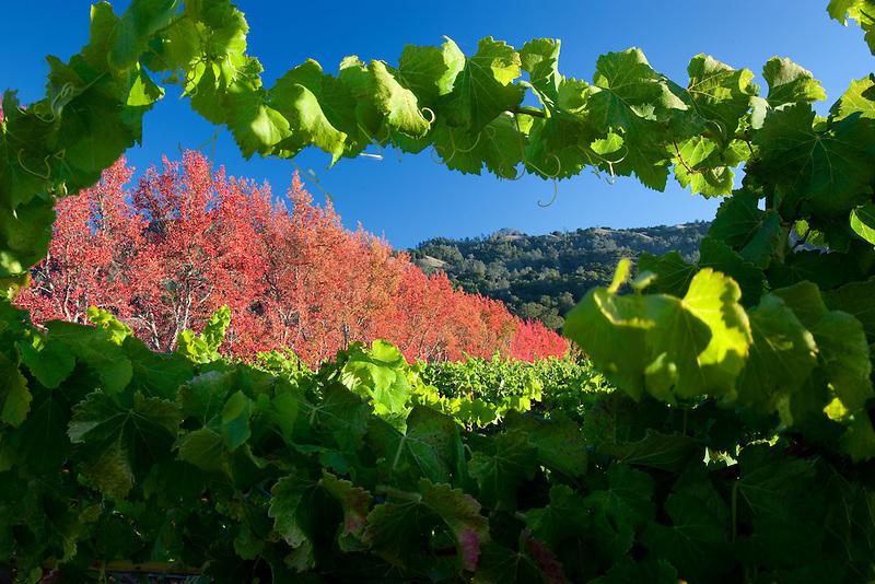 Sweetgum trees in fall color as seen through grape vines in vineyard. Near Gyserville, California