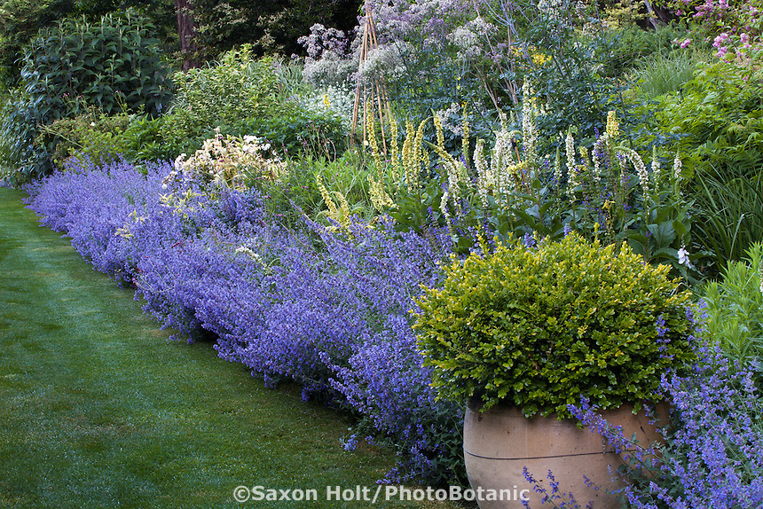 Catmint, Nepeta 'Walker's Low' flowering along perennial border with urn with boxwood shrub anchoring one end in Gary Ratway garden