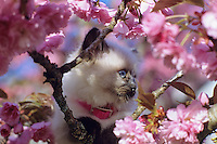 Persian Cat in tree with blossoms.