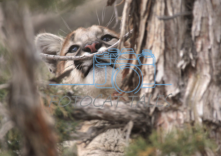 Daniel, an 8-month-old mountain lion cub, climbs a tree in his enclosure at the Animal Ark in Reno, Nev., on Friday, March 30, 2012. The wildlife sanctuary opens for its 31st season on Saturday..Photo by Cathleen Allison
