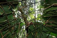 At the camp, the women build the structure of the hut within a few minutes. Then the hut is covered in Marantaceae leaves or some other leaves found in the immediate surroundings. At the camp, the ground is swept once a day, the fire in the huts keeps away gnats and insects and in the case of ants, red  embers are scattered on the ground.///Au campement, les femmes ont fabriqué la structure de la hutte en quelques minutes. Puis la hutte est recouverte de feuilles de Marantaceae ou d'autres feuilles disponibles de l'environ immédiat. Au campement, le sol est balayé une fois par jour, le feu dans les huttes éloignent moucherons et insectes et en cas de présence de fourmis, des braises rouge sont éparpillé sur le sol.