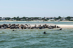 Gray Seals hauled out on the Chatham Bars, Cape Cod.  Medium shot view of colony hauled out on sand bar.  Chatham, Massachusetts is in the background.