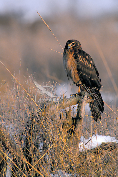 Northern Harrier, immature. Winter. Fraser Estuary. Coastal British Columbia, Canada. (Circus cyaneus).