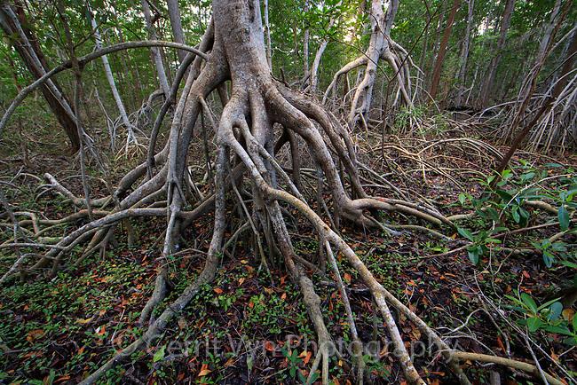Red Mangrove forest. Celestun Biosphere Reserve, Yucutan, Mexico.