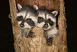 Two baby raccoons nestled into a hallow tree trunk, Washington.