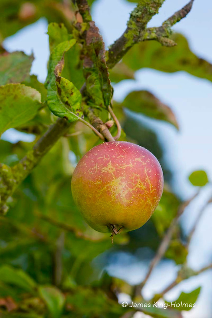 Apples variety Corse Hill