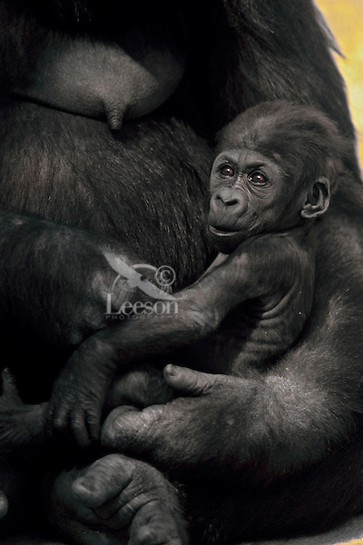 Lowland gorilla (Gorilla gorilla) mother cradling young.