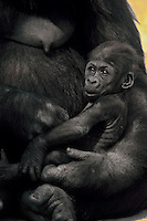 Lowland gorilla (Gorilla gorilla) mother cradling young.