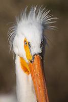 American White Pelican (Pelecanus erythrorhynchos). Lake County, Oregon. April.