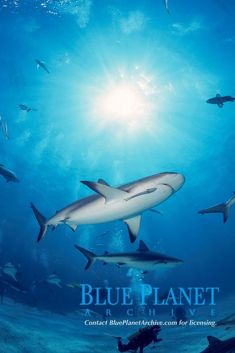 Caribbean reef sharks, Carcharhinus perezii, Bahamas, Caribbean Sea, Atlantic Ocean