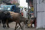 Domesticated buffalos roam around burrabazzar in search of food. India is going through a 21 days lock down due to corona virus pandemic. Kolkata, West Bengal, India. Arindam Mukherjee.