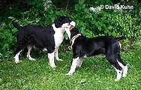 0808-0819  English Springer Spaniels Playing, Canis lupus familiaris © David Kuhn/Dwight Kuhn Photography.