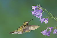Broad-tailed Hummingbird, Selasphorus platycercus,male in flight feeding on Bellflower (Campanula sp.),Rocky Mountain National Park, Colorado, USA