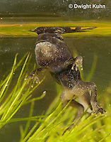 FR11-900z   American Toad Tadpole, Four leg stage and short tail, Anaxyrus americanus or Bufo americanus