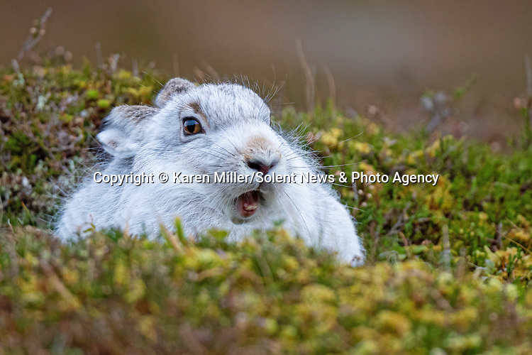 """Pictured:   A mountain hare pulled some hare-larious faces at a photographer in the Scottish Highlands, making for some brilliant pictures.<br /> <br /> Photographer Karen Miller, 49, was walking through the Cairngorms when she spotted this very confident hare, which started pulling funny faces at her camera.<br /> <br /> She said: """"It looked like it was waving, or doing a high-five.  SEE OUR COPY FOR FULL DETAILS.<br /> <br /> Please byline: Karen Miller /Solent News<br /> <br /> © Karen Miller /Solent News & Photo Agency<br /> UK +44 (0) 2380 458800"""