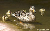 0217-1201  Female Mallard with Ducklings, Anas platyrhynchos  © David Kuhn/Dwight Kuhn Photography
