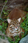 The Asiatic golden cat is a forest dweller, Asia