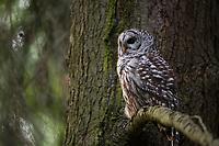 Adult Barred Owl (Strix varia). King County, Washington. May.