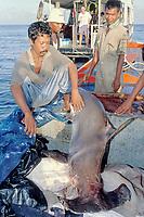 Indonesian fishermen inspect their catch, a scalloped hammerhead, Sphyrna lewini, Burma Banks, Myanmar, Andaman Sea, Indian Ocean