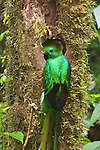 Portrait of a male resplendent quetzal perched at its nest hole in the Biosphere Reserve El Triunfo of the Sierra Madre range of Chiapas, Mexico.