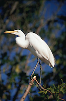 A Great Egret (Casmerodius albus.).