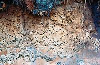 Seidenbiene, Gemeine Seidenbiene, Buckel-Seidenbiene, Buckelseidenbiene, Nistwand, Nest, Nester, Neströhren, Niströhren, Colletes daviesanus, Davies' Colletes, plasterer bee, la collète commune, Seidenbienen, plasterer bees